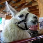 """llama"" by cvchapstick"