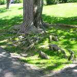 """roots"" by cvchapstick"