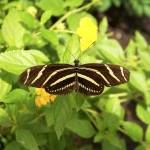 """Zebra longwing butterfly"" by MsT"