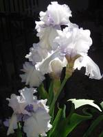 White and Lavender Iris