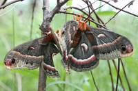 Cecropia Moths, Mating