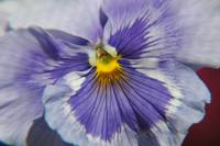 Ruffled Blue Pansy