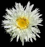 White Shaggy Shasta Daisy On Black