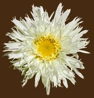 White Shaggy Shasta Daisy On Brown