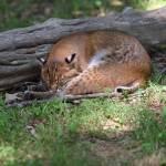 """Sleeping Bobcat"" by jones3006"