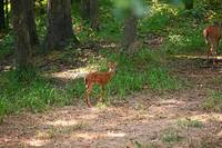 Fawn Standing in the Woods