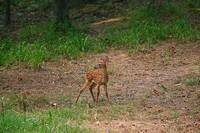 Fawn looking over it's shoulder