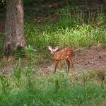 """""""Standing Fawn"""" by jones3006"""
