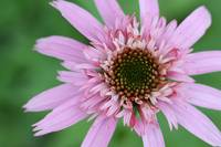 Echinacea - Pink Double Delight