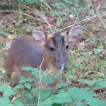 """A friendly Muntjac deer"" by creativeartfromdave"