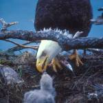 """feeding the eaglet"" by KurtThorson"