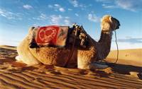 Seated Camel