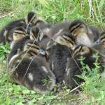 """Mallard chicks at rest."" by creativeartfromdave"