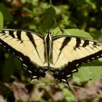 """""""Tiger swallowtail"""" by newtstew"""