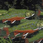 """Fine Art Prints Fish Trout Water Brook Trout"" by BasleeTroutman"