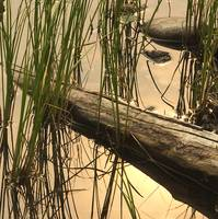Reeds and Log