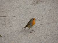 Robin on path.