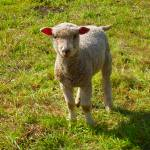 """Baby Sheep In Field"" by thomasdodson"