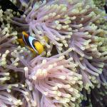 """Anemone and clown fish"" by Frederique"