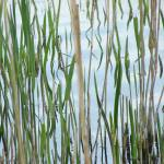 """""""Reeds."""" by creativeartfromdave"""