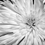 """White Chrysanthemum"" by JuliaHiebaum"