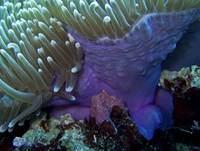 Purple Anemone on Victor Coral Head