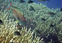 parrot fish over coral