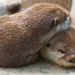 """Loving Otters"" by soa"