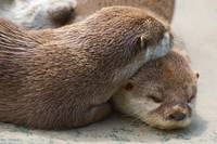 Loving Otters