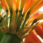 """""""Orange Clivia Blossoms"""" by KathrynMorrison"""