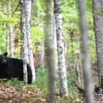 """""""Bear-in-the-Birch"""" by jones3006"""