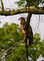 Immature-Eagle-at-Dawn