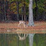 """Whitetail-Doe-Reflection"" by jones3006"