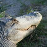 """Grandaddy Gator IMG_2623"" by suzanneseverglades"