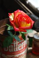 Rose in Coffee Can