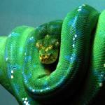 """Singapore zoo - The Emerald Boa"" by prajuvikas"