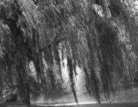 B&W Weeping Willow Tree Landscape Nature Scene