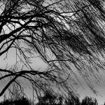 """Weeping Willow Tree Blowing in the Wind"" by PhotographsByCarolFAustin"
