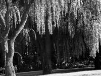 Weeping Willow Tree Landscape