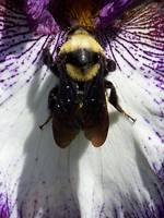 Bee on an Iris