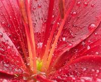 Rainy Day Red Day Lily