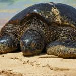 """Honu Basking"" by sloan"