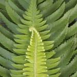 """sword fern"" by KurtThorson"
