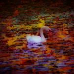 """swan"" by shackman3"