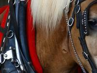 Waiting ~Draft horse in Harness