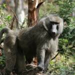 """Baboon in Forest Rwanda"" by CambridgeMedicalMission"