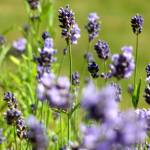 """Lavender Field"" by steveallatphoto"