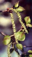 Catkins in May