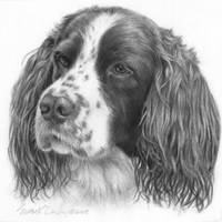 Sebastian, English Springer Spaniel