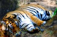 sleeping beauty_bandhavgarh_india